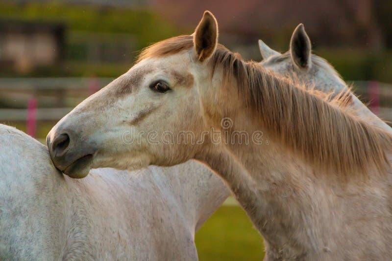 Белые лошади близко к одину другого стоковые фотографии rf