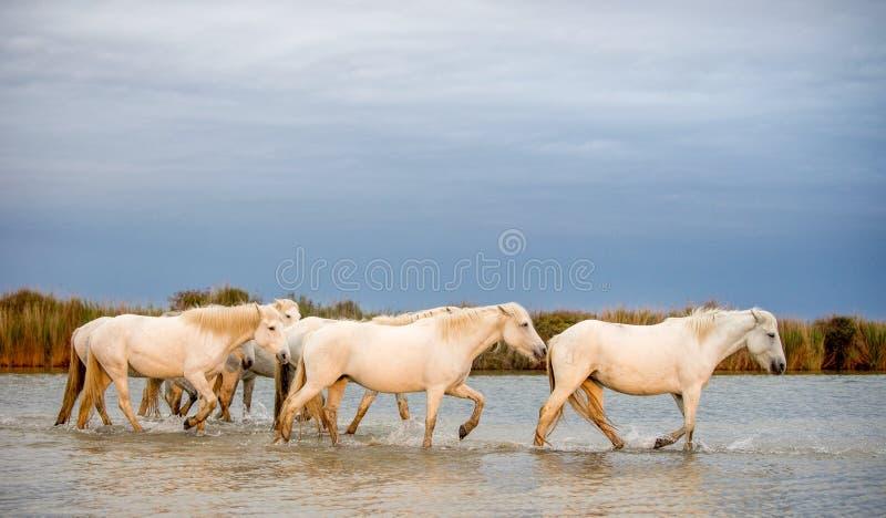 Белые лошади Camargue идя через воду стоковая фотография rf