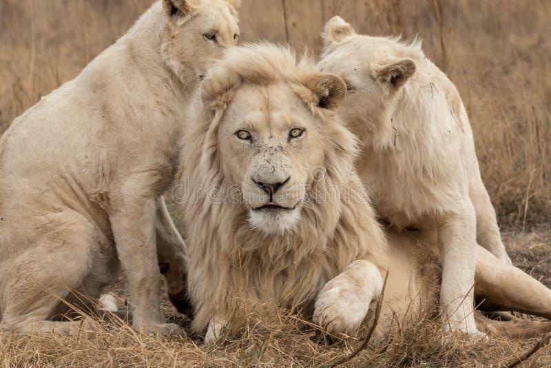 Белые львы Южная Африка стоковая фотография