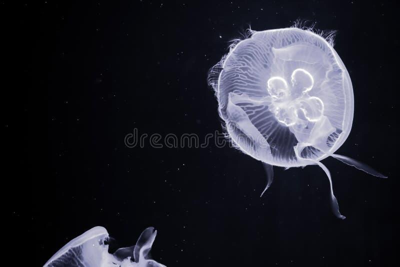 Белые медузы с черной предпосылкой стоковое фото rf