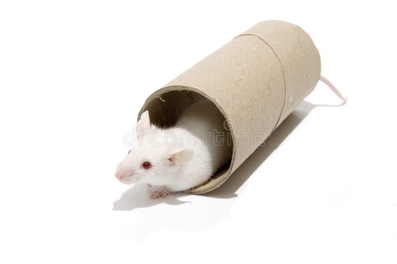 Белые мыши на ролике стоковая фотография