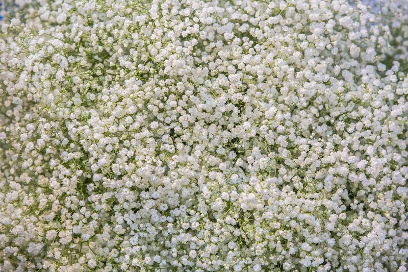 Белые небольшие высушенные цветки, предпосылка текстуры гипсофилы белая зацветая стоковое изображение