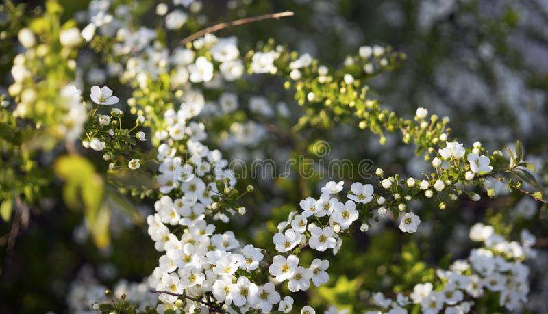 Белые небольшие цветки цвести herbaceous arguta Spiraea кустарника spirea, или Bridal венок стоковое фото