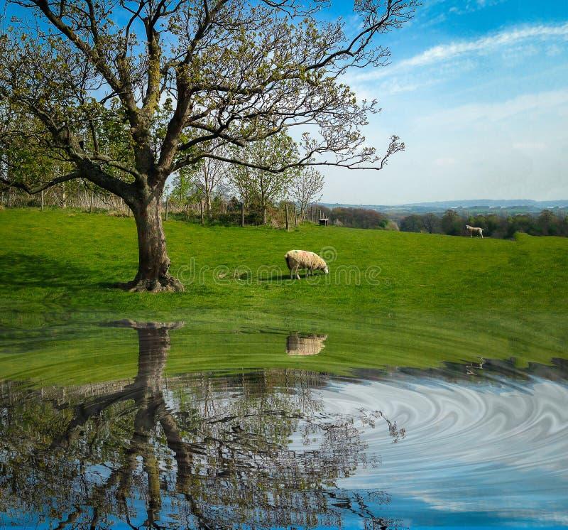 Белые овцы есть зеленую траву около большого дерева на поле стоковая фотография rf