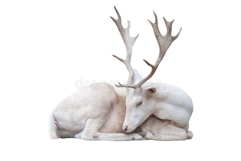 Белые олени albus кладут стоковое фото