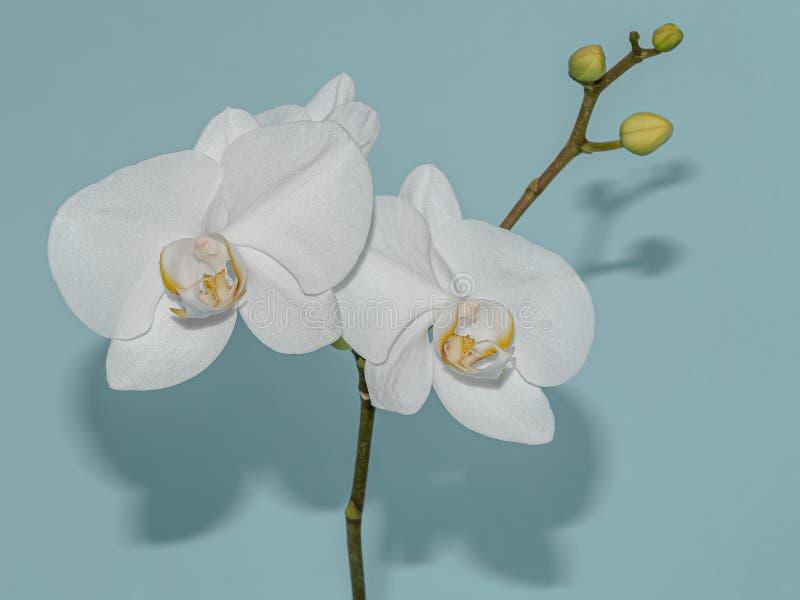 Белые орхидеи и их тени на бледно-синем стоковые изображения rf