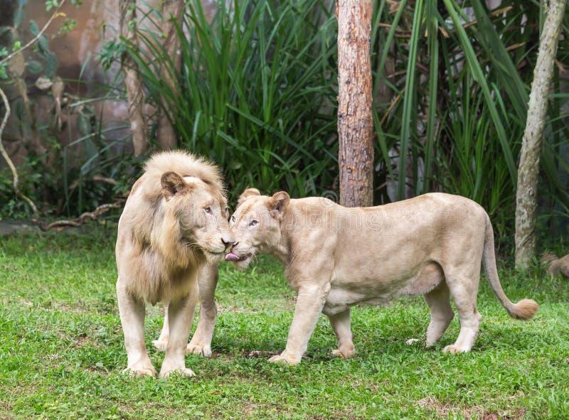 Белые пары львов нюхая snuggle в нежном любящем моменте стоковое изображение rf