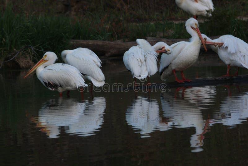 Белые пеликаны наслаждаясь погодой весны стоковое изображение rf