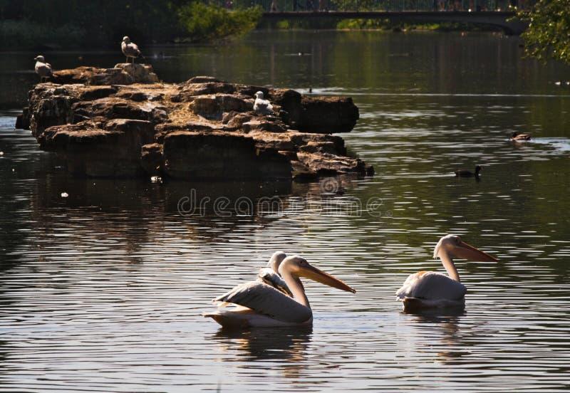 Белые пеликаны - I - парк St James - Лондон стоковая фотография