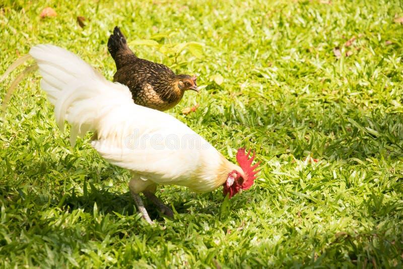 Белые петух и курица стоковые фотографии rf
