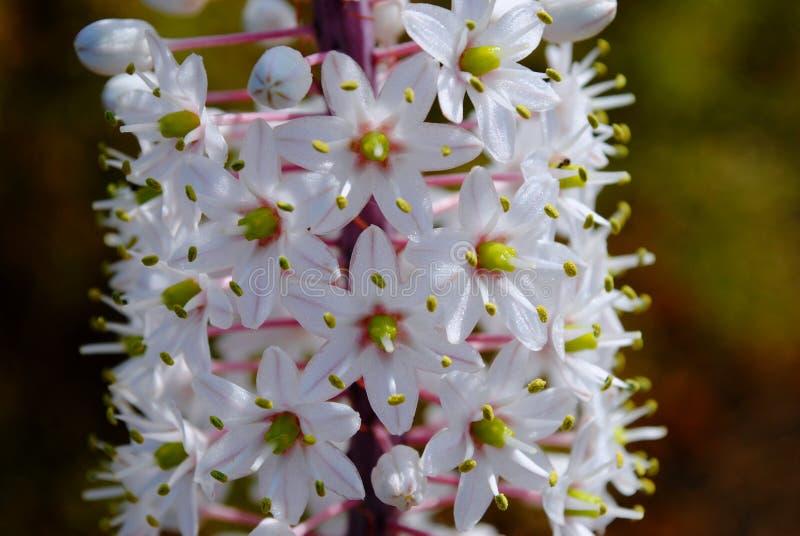 Белые розовые цветки maritima Drimia стоковая фотография rf