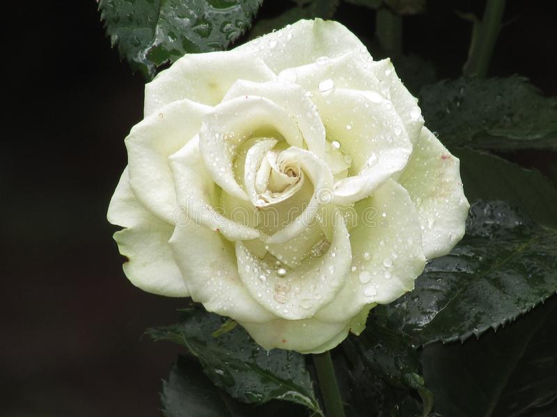 Белые розы в Кении стоковое фото