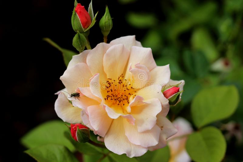 Белые розы в конце-вверх стоковое фото rf