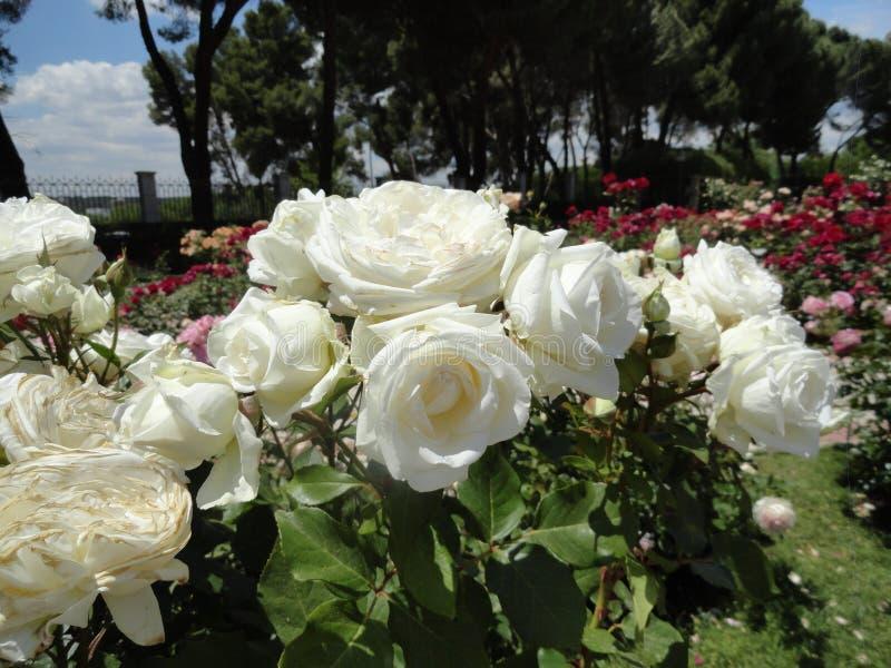 Белые розы в парке retiro стоковое изображение