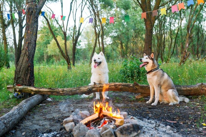 Белые собака и лайка samoyed сидят около огня в лесе лета стоковое фото