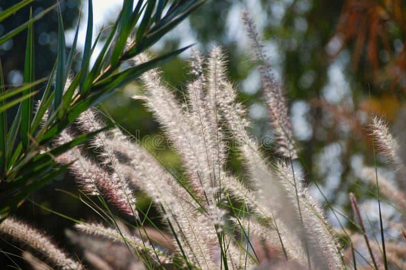Белые тростники сверкают в солнце с шикарной зеленой предпосылкой стоковая фотография rf