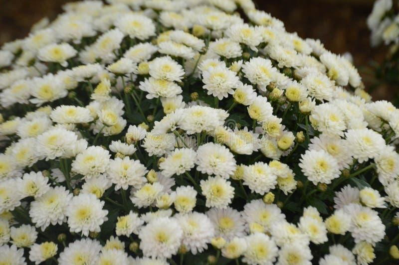 Белые хризанты в цветущем виде в английском саду стоковые фотографии rf
