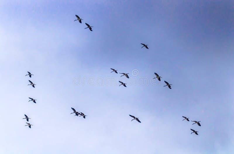 Белые цапли летая стоковые изображения