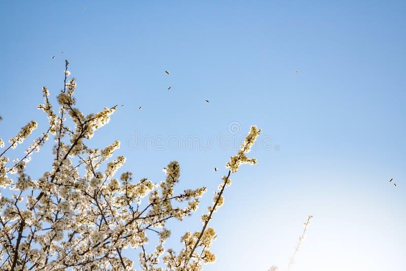 Белые цветение и пчелы весны стоковое изображение