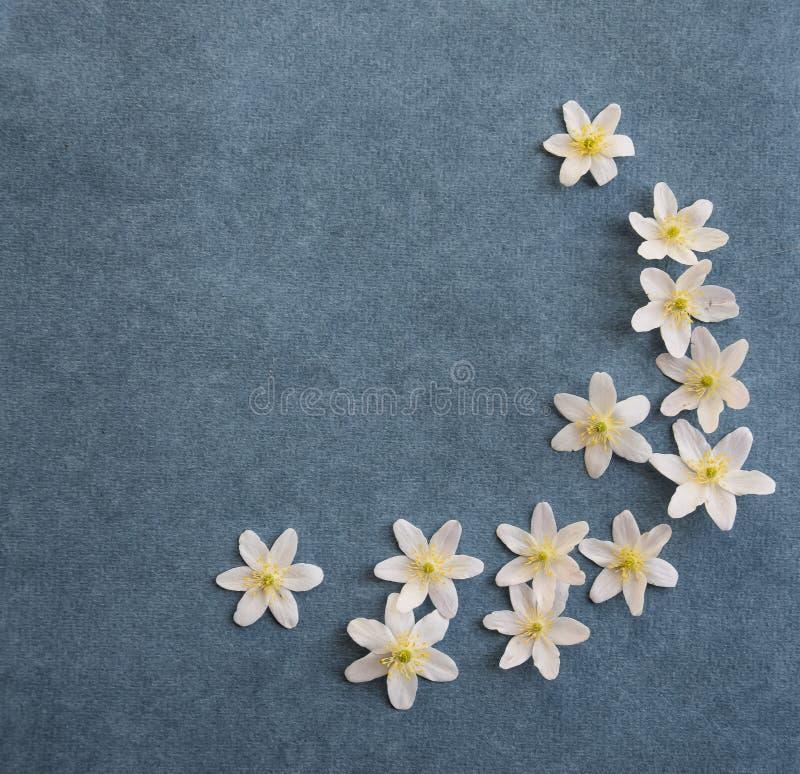Белые цветения деревянной ветреницы на предпосылке сини джинсов стоковое изображение rf