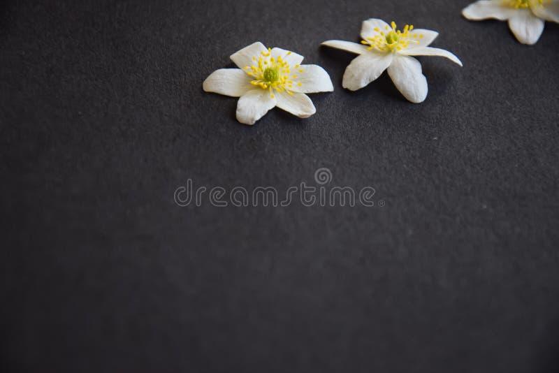 Белые цветения деревянной ветреницы на предпосылке сини джинсов стоковые фотографии rf