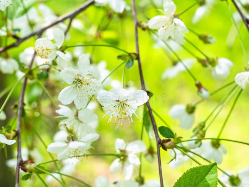 Белые цветения закрывают вверх в зеленом саде весной стоковая фотография