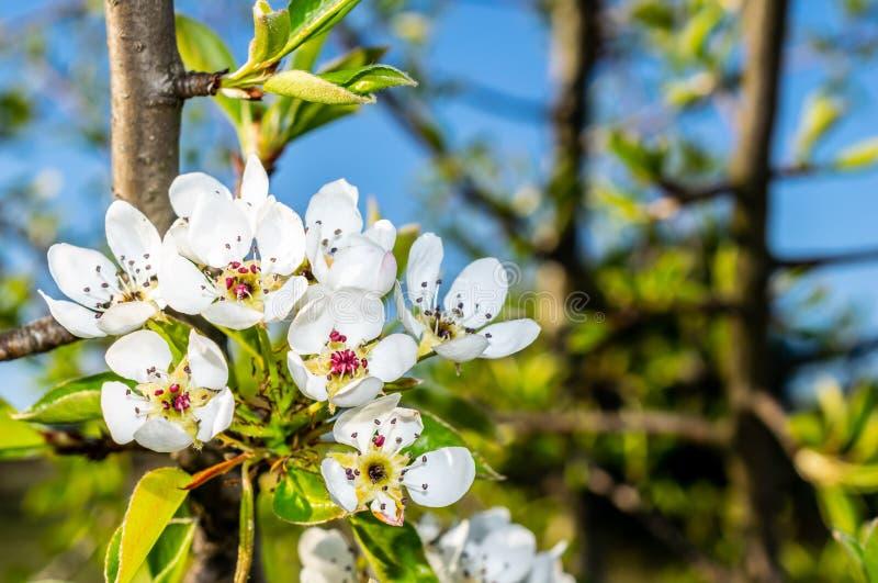 Белые цветения яблока на предпосылке голубого неба стоковое фото
