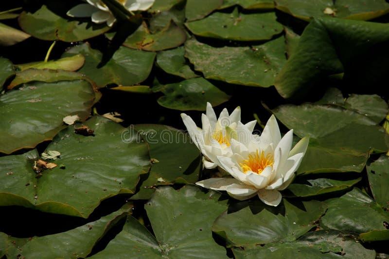 Белые цветеня лилии воды стоковые изображения