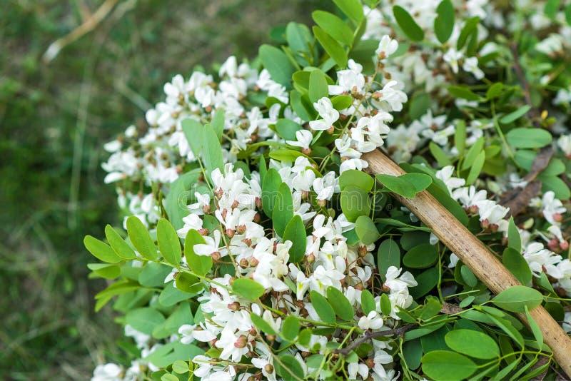 Белые цветки акации с листьями лежат в плетеной корзине стоковые изображения