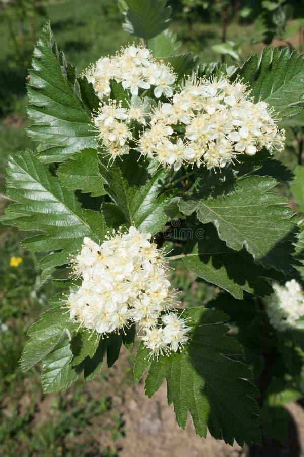 Белые цветки арии рябины стоковая фотография