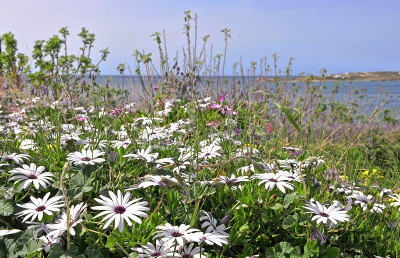 Белые цветки весны в поле стоковые фотографии rf