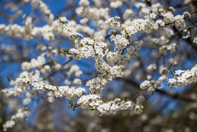 Белые цветки вишни в больших количествах против фона ясного голубого неба стоковое фото rf
