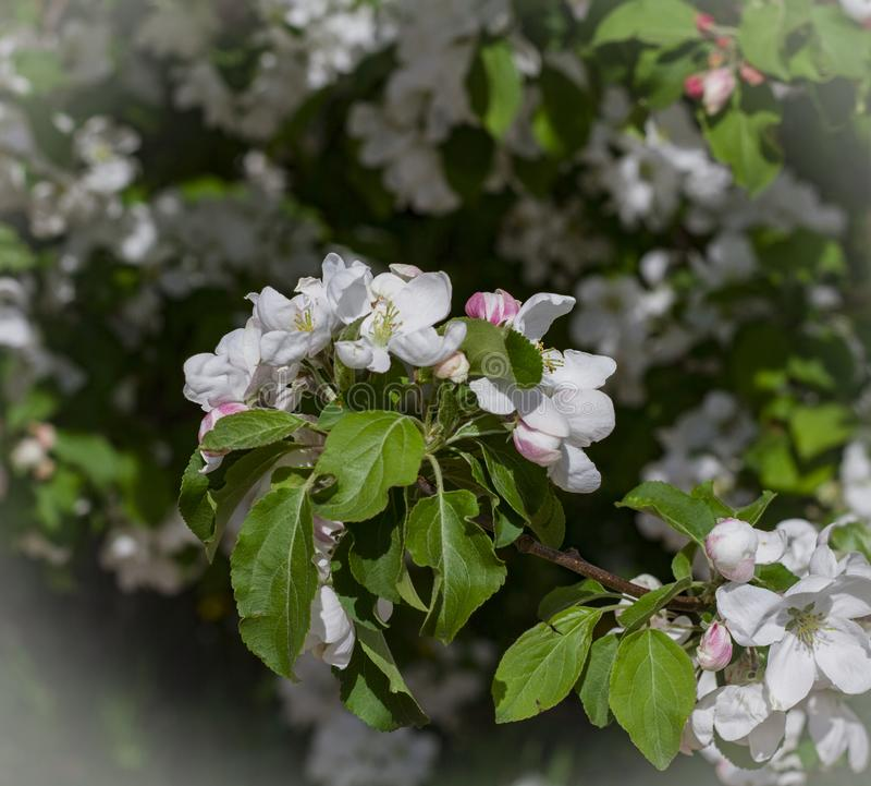 Белые цветки вишни закрывают вверх стоковые изображения rf