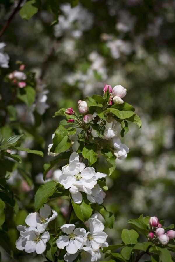 Белые цветки вишни закрывают вверх стоковое фото