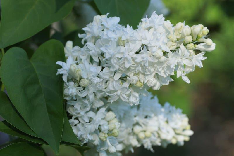 Белые цветки вишни птицы на ветви куста с зелеными листьями стоковые фотографии rf