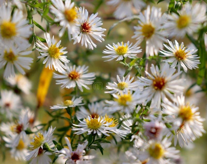 Белые цветки в Германии в осени стоковое изображение rf