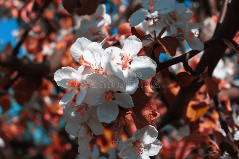 Белые цветки в розовом свете и украшенные с ветвью яблони стоковое изображение