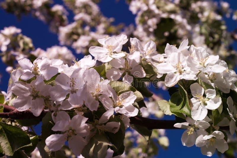Белые цветки в розовом свете и украшенные с ветвью яблони стоковые фотографии rf