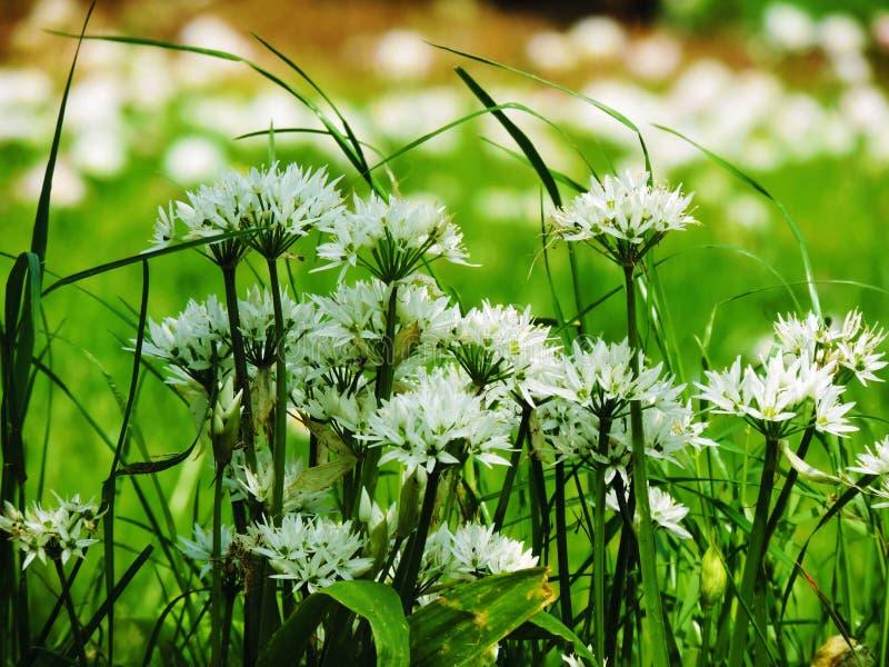 Белые цветки и листья ramsons стоковые изображения