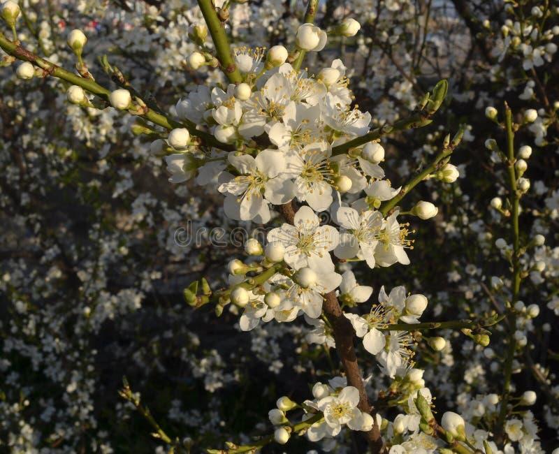 Белые цветки и неоткрытые бутоны на ветви цвести сливы стоковые фотографии rf