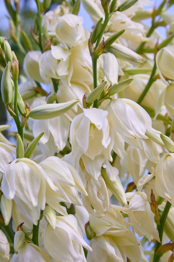 Белые цветки куста filamentosa юкки, другие имена включают иглу Адамса стоковое фото rf