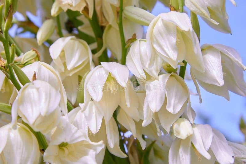 Белые цветки куста filamentosa юкки, другие имена включают иглу Адамса стоковое фото