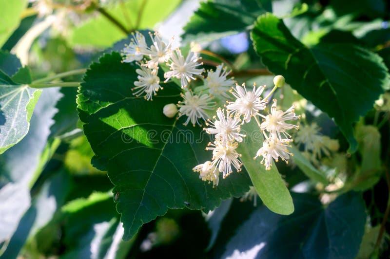 Белые цветки липы на предпосылке зеленых листьев стоковое изображение rf