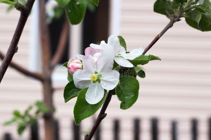 белые цветки на ветви яблони в саде стоковая фотография