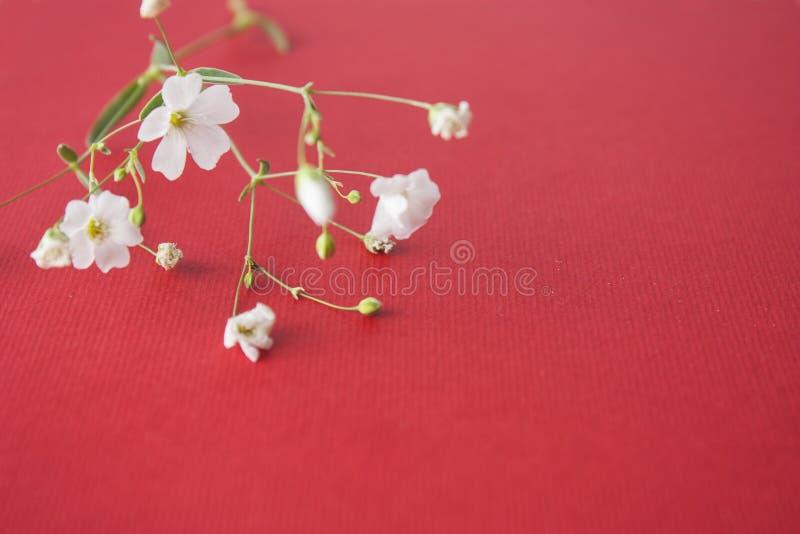 Белые цветки на красной предпосылке стоковое фото