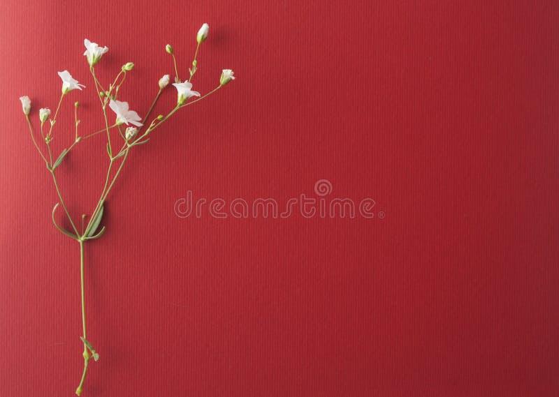 Белые цветки на красной предпосылке стоковое изображение rf