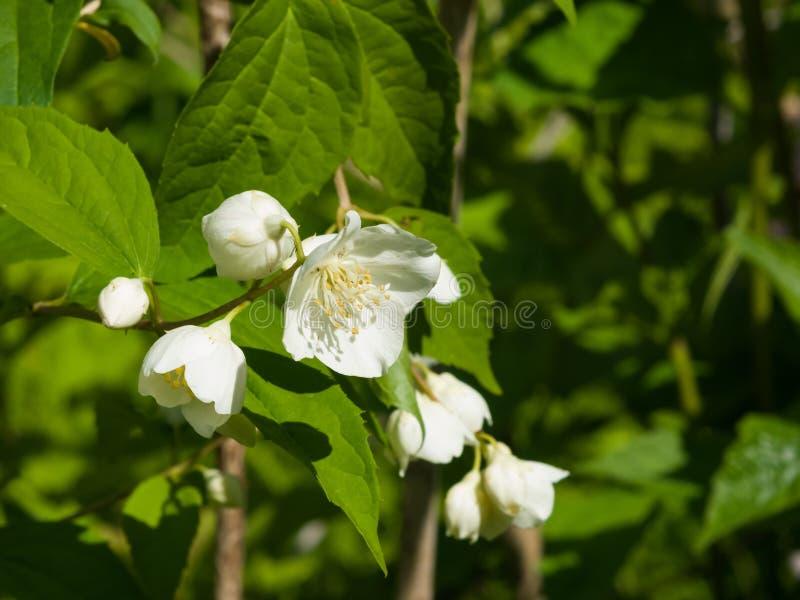 Белые цветки на кустарнике насмешка-апельсина с предпосылкой bokeh, макросом, селективным фокусом, отмелым DOF стоковое изображение
