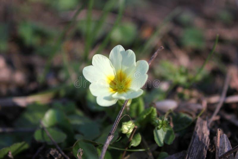 Белые цветки с желтым сердцем стоковое фото rf