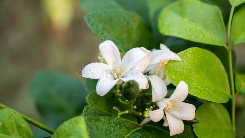 Белые цветки, цветень, желтый с зелеными листьями стоковая фотография rf