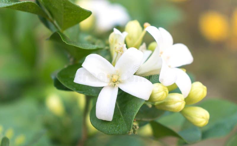 Белые цветки, цветень, желтый с зелеными листьями стоковое изображение rf